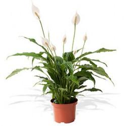 Plante verte